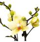 Schmetterlingsorchidee, Phalaenopsis, Blüte: gelb, mit 2 Trieben-Thumbnail