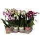 Schmetterlingsorchidee, Phalaenopsis, Blüte: gemischt-Thumbnail