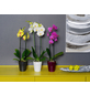 Schmetterlingsorchidee, Phalaenopsis, Blüte: mehrfarbig, mit 2 Trieben-Thumbnail