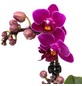 Schmetterlingsorchidee, Phalaenopsis, Blüte: violett, mit 2 Trieben-Thumbnail