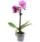Schmetterlingsorchidee, Phalaenopsis, Blüte: zweifarbig, mit 1 Trieb-Thumbnail
