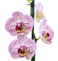 Schmetterlingsorchidee Phalaenopsis , Blüte: zweifarbig, mit 10+ Blüten-Thumbnail