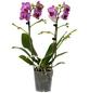 Schmetterlingsorchidee Phalaenopsis , Blüte: zweifarbig, mit 2 Trieben-Thumbnail