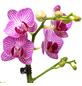 Schmetterlingsorchidee, Phalaenopsis, Blüte: zweifarbig, mit 2 Trieben-Thumbnail