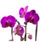 Schmetterlingsorchidee, Phalaenopsis Cascade, Blüte: violett, mit 2 Trieben-Thumbnail