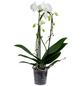 Schmetterlingsorchidee Phalaenopsis Cascade, Blüte: weiß, mit 2 Trieben-Thumbnail