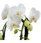 Schmetterlingsorchidee, Phalaenopsis Cascade, Blüte: weiß, mit 2 Trieben-Thumbnail