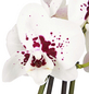GARTENKRONE Schmetterlingsorchidee Phalaenopsis hybrid-Thumbnail