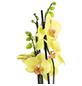 GARTENKRONE Schmetterlingsorchidee, Phalaenopsis Hybrid, Blüte: mehrfarbig, im Topf-Thumbnail