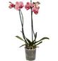 GARTENKRONE Schmetterlingsorchidee Phalaenopsis Hybrid, Blüte: mehrfarbig, im Topf-Thumbnail