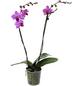 GARTENKRONE Schmetterlingsorchidee, Phalaenopsis hybrid, Blüte: violett, im Topf-Thumbnail