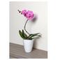 GARTENKRONE Schmetterlingsorchidee Phalaenopsis hybrid 'Curvy'-Thumbnail