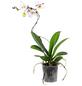 GARTENKRONE Schmetterlingsorchidee, Phalaenopsis Hybrid »Curvy«, Blüte: mehrfarbig, im Topf-Thumbnail