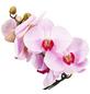 GARTENKRONE Schmetterlingsorchidee Phalaenopsis Hybrid »Curvy«, mehrfarbig-Thumbnail
