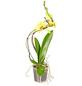 GARTENKRONE Schmetterlingsorchidee, Phalaenopsis hybrid »Hurricane«, Blüte: mehrfarbig, im Topf-Thumbnail