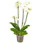 GARTENKRONE Schmetterlingsorchidee Phalaenopsis Hybrid, mehrfarbig-Thumbnail