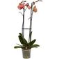 GARTENKRONE Schmetterlingsorchidee Phalaenopsis hybrid orange-Thumbnail