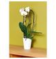 GARTENKRONE Schmetterlingsorchidee Phalaenopsis hybride-Thumbnail