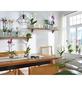 GARTENKRONE Schmetterlingsorchidee, Phalaenopsis hybride, Blüte: gelb, im Topf-Thumbnail