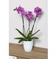 Schmetterlingsorchidee, Phalaenopsis hybride, Blüte: mehrfarbig-Thumbnail