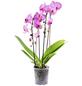 GARTENKRONE Schmetterlingsorchidee, Phalaenopsis Hybride, Blüte: mehrfarbig, im Topf-Thumbnail