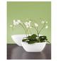 GARTENKRONE Schmetterlingsorchidee Phalaenopsis Hybride, Blüte: mehrfarbig, im Topf-Thumbnail