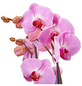 GARTENKRONE Schmetterlingsorchidee, Phalaenopsis Hybride, Blüte: rosa, im Topf-Thumbnail