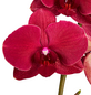 GARTENKRONE Schmetterlingsorchidee, Phalaenopsis Hybride, Blüte: rot, im Topf-Thumbnail