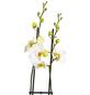 GARTENKRONE Schmetterlingsorchidee, Phalaenopsis hybride, Blüte: weiß, im Topf-Thumbnail