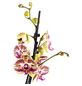 GARTENKRONE Schmetterlingsorchidee, Phalaenopsis Hybride, Blüte: zweifarbig, im Topf-Thumbnail