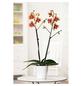GARTENKRONE Schmetterlingsorchidee Phalaenopsis Hybride, Blüte: zweifarbig, im Topf-Thumbnail