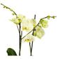 GARTENKRONE Schmetterlingsorchidee Phalaenopsis Hybride, gelb-Thumbnail