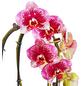 GARTENKRONE Schmetterlingsorchidee Phalaenopsis Hybride, mehrfarbig-Thumbnail
