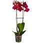 GARTENKRONE Schmetterlingsorchidee Phalaenopsis Hybride, rot-Thumbnail