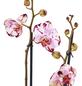 GARTENKRONE Schmetterlingsorchidee Phalaenopsis hybride zweifarbig-Thumbnail