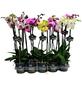 Schmetterlingsorchidee, Phalaenopsis Hybriden, Blüte: gemischt-Thumbnail