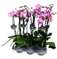 Schmetterlingsorchidee, Phalaenopsis Hybriden, Blüte: rosa-Thumbnail