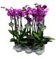 Schmetterlingsorchidee, Phalaenopsis Hybriden, Blüte: violett-Thumbnail