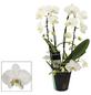 Schmetterlingsorchidee, Phalaenopsis Hybriden, Blüte: weiß-Thumbnail