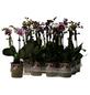 Schmetterlingsorchidee, Phalaenopsis Hybriden »Kolibri«, Blüte: gemischt-Thumbnail