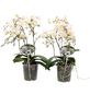 Schmetterlingsorchidee, Phalaenopsis Hybriden »Wild«, Blüte: weiß-Thumbnail