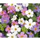 Schneeflockenblume, Bacopa diffusus, Blüte: mehrfarbig-Thumbnail