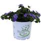 Schneeflockenblume, Bacopa Sutera, Blüte: weiß/rosa/blau-Thumbnail