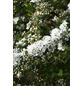 GARTENKRONE Schneespiere, Spiraea cinerea »Grefsheim«, weiß, winterhart-Thumbnail