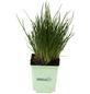 GREENBAR Schnittlauch 3er Set, Allium Schoenoprasum, Blütenfarbe: lila-Thumbnail