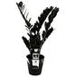 Schwarze Glücksfeder Zamioculcas zamiifolia »Raven«-Thumbnail
