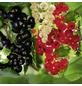 Schwarze Johannisbeere Ribes nigrum »Ben Tirran«-Thumbnail