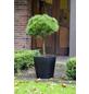 BOTANICO Schwarzkiefer nigra Pinus »Brepo«-Thumbnail