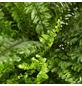 GARTENKRONE Schwertfarn Nephrolepis exaltata 'Green Lady' 25 cm-Thumbnail