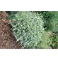 GARTENKRONE Sibirischer Hartriegel  Cornus alba »Sibirica'«-Thumbnail